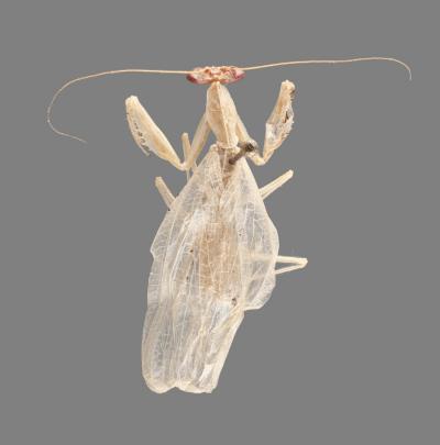 <em>Cornucollis masoalensis</em>
