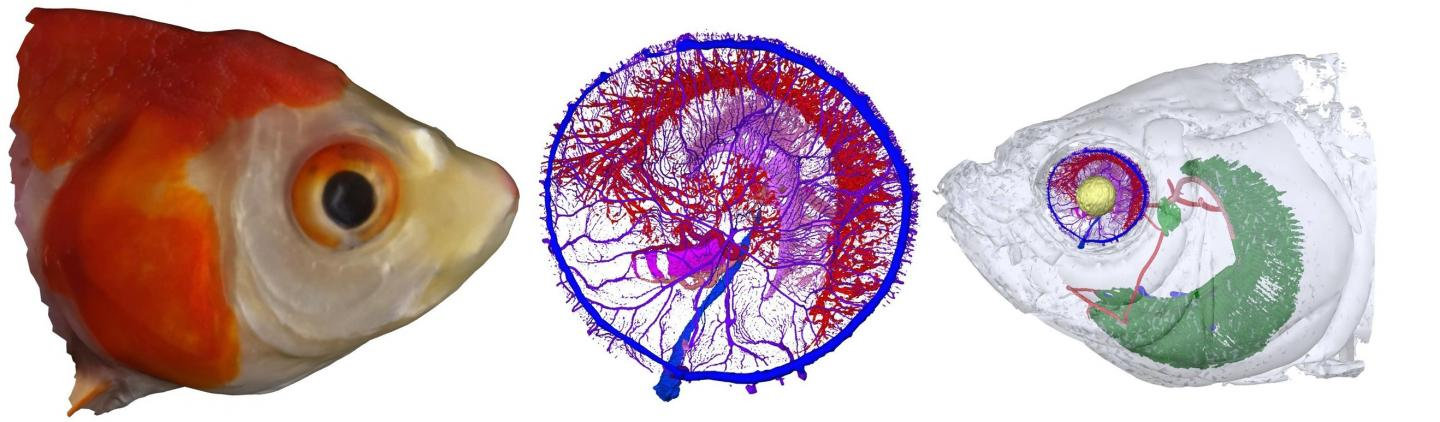 Vascular Networks in the Retina of a Goldfish