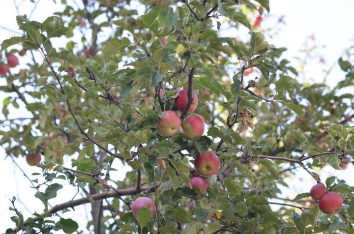 Tien Shan Wild Apples