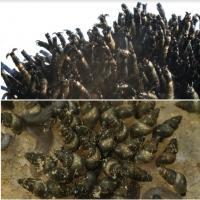 Blackflies + Mudsnails
