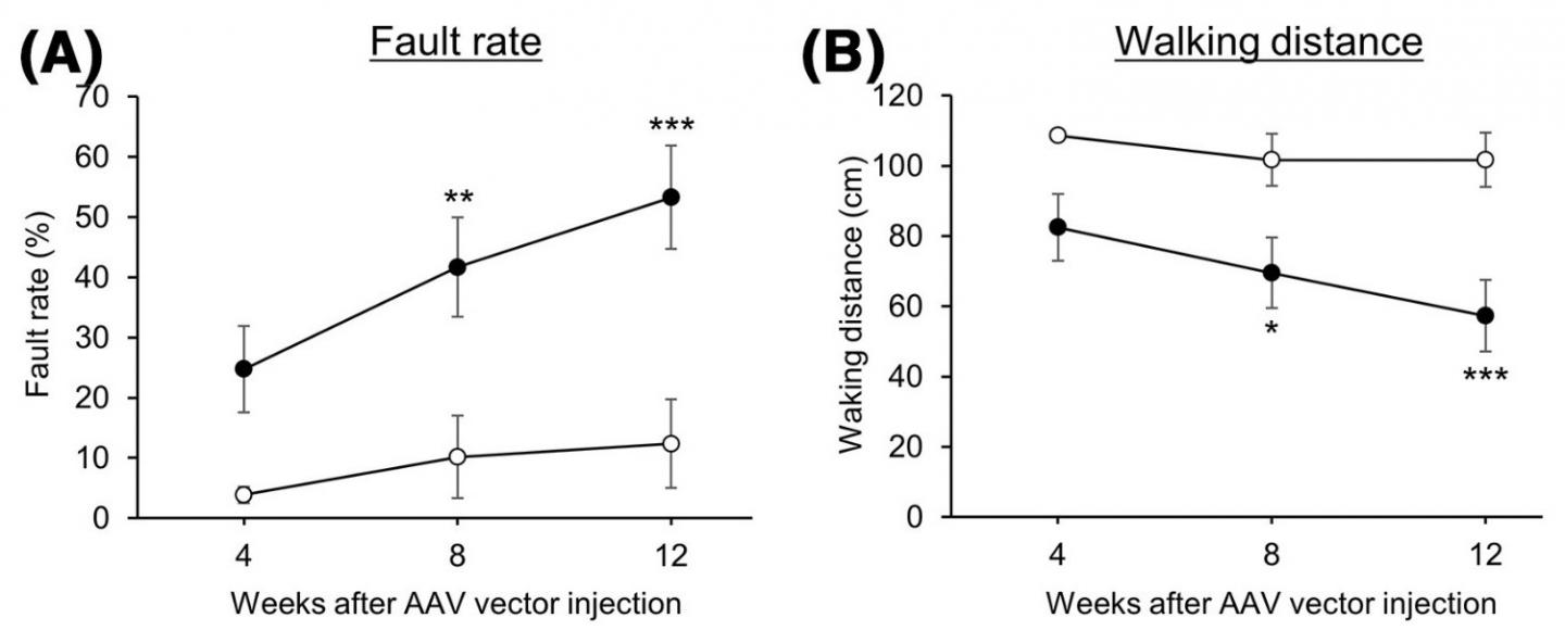 Motor function test in mice with reduced CMA activity in cerebellar neurons