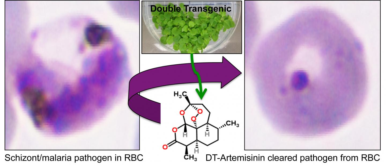 Artemisinin in Tobacco