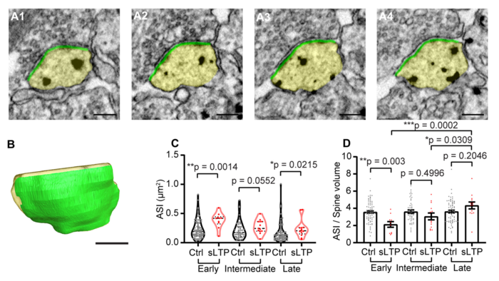 Structural LTP (sLTP) induces expansion of total ASI postsynaptic membrane