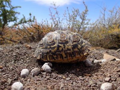 A Juvenile Leopard Tortoise