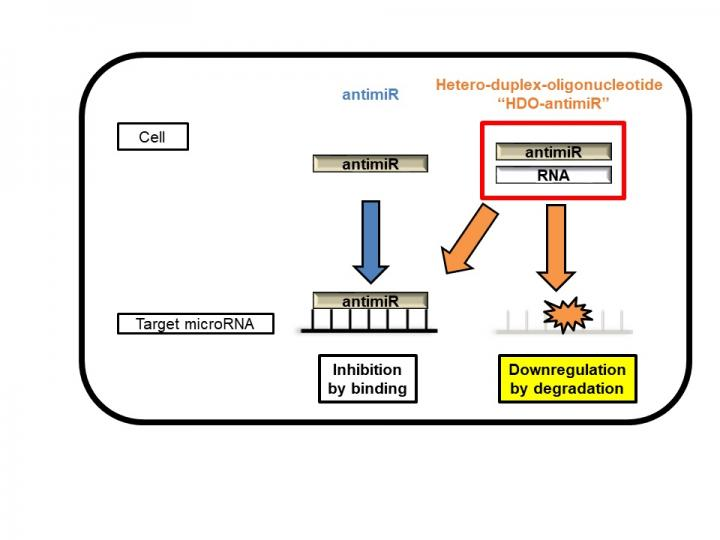 Intracellular Mechanism of microRNA Silencing by HDO-antimiR