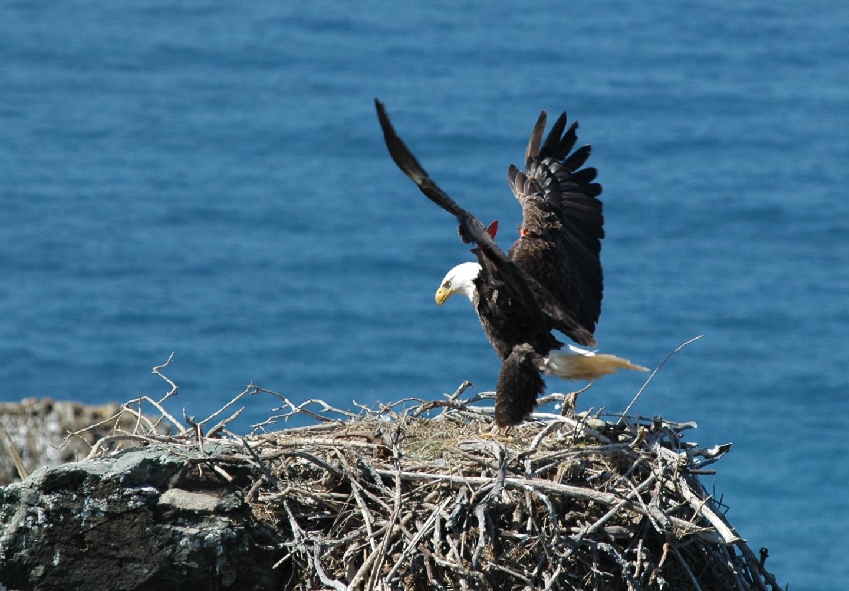 Reintroduced Bald Eagle