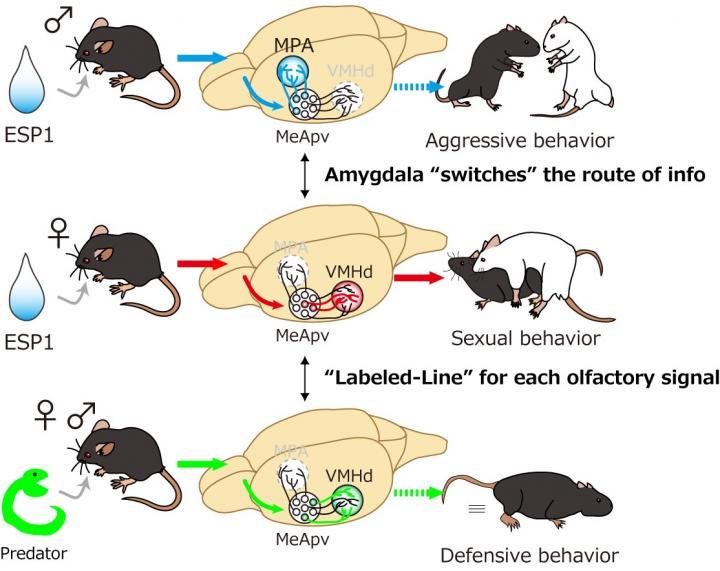 Regulation of Pheromone-mediated Instinctive Behaviors in the Brain