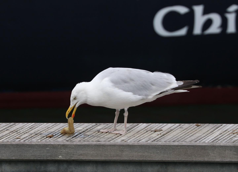 European Herring Gull Preparing Sea Squirt