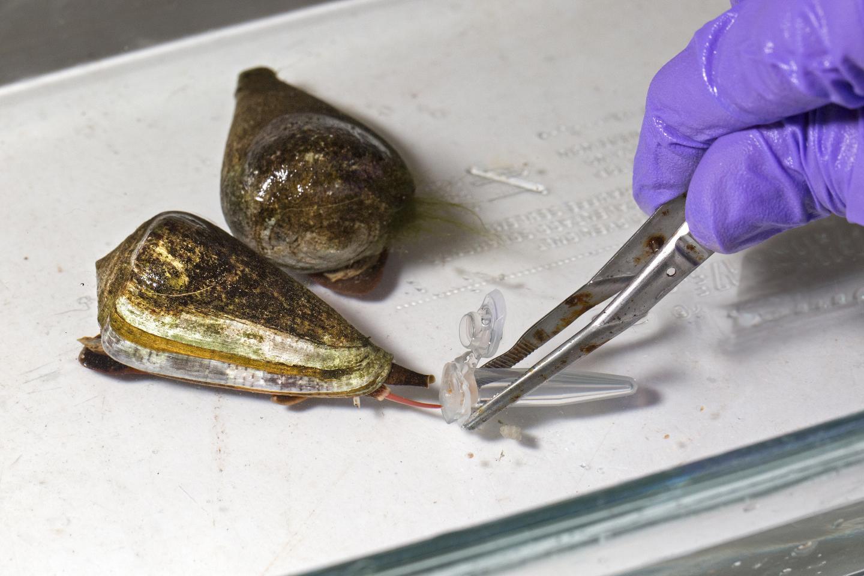 Milking Killer Mollusks for Medical Research