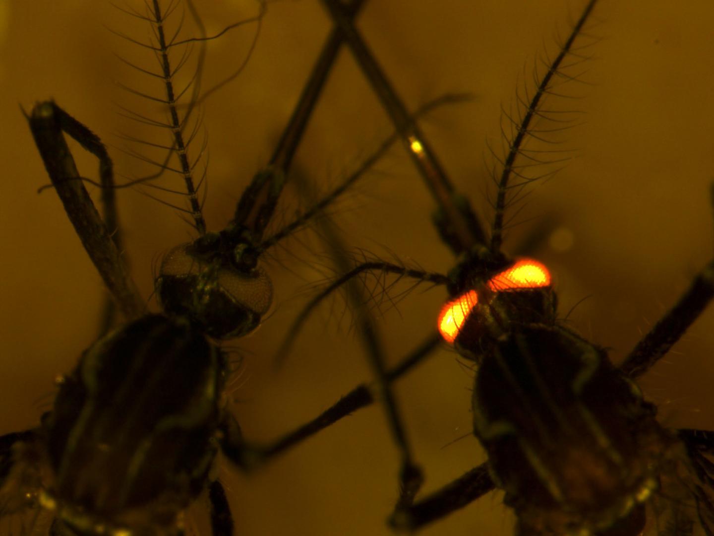 Dengue-Resistant Mosquitoes