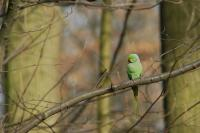 Ring-necked Parakeet in Brussels