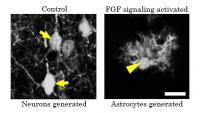 Figure 2: FGF Signaling Activation Affects the Number of Cells Generated from Neural Stem Cells.