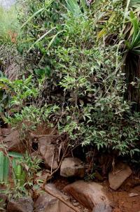 <i>Rinorea niccolifera</i> (2 of 2)