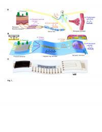 Comparison between a Biological Mechanosensory Nerve and An Artificial Mechanosensory Nerve