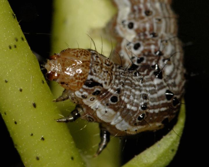 Cotton Bollworm