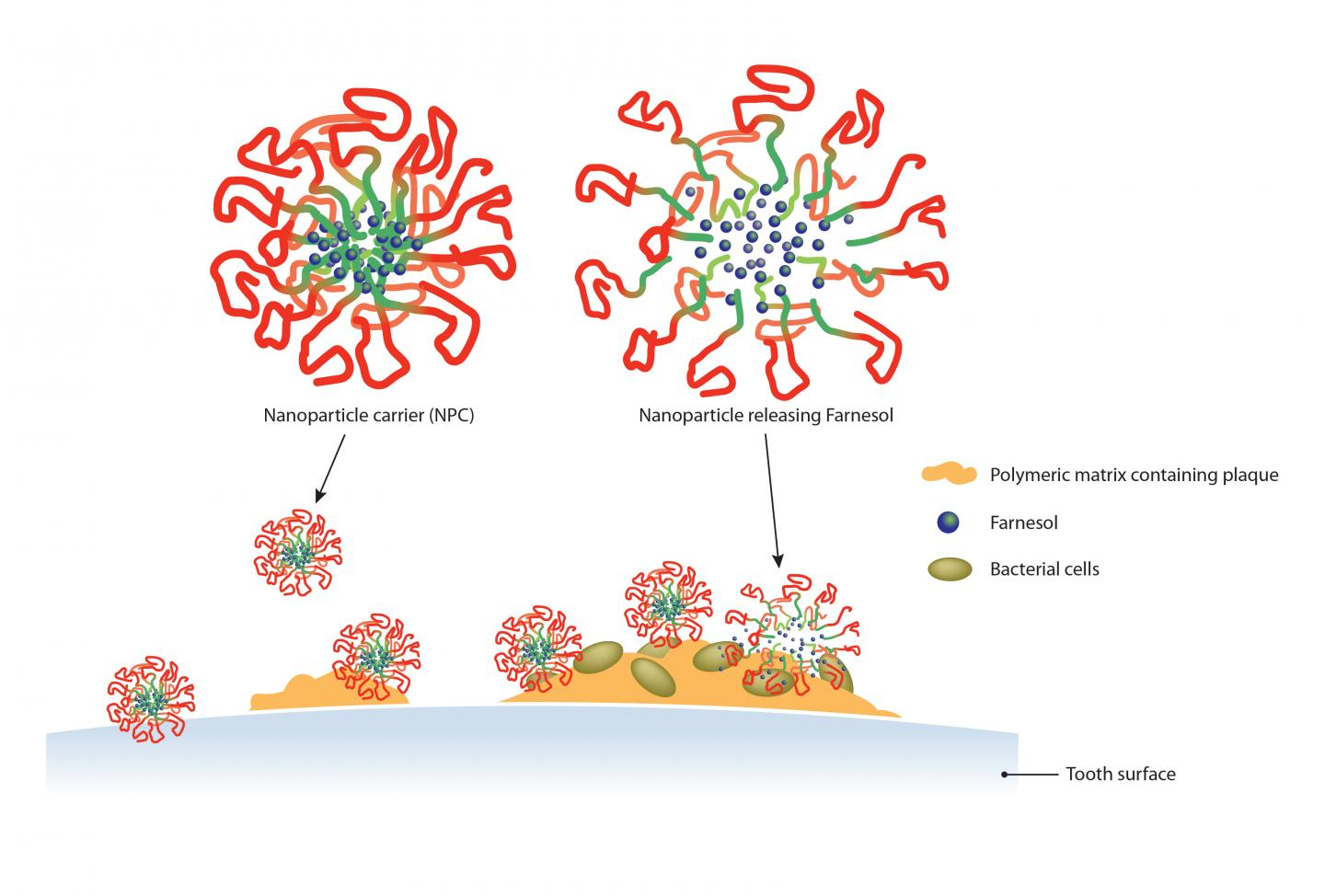 Nanoparticle Carriers Delivering Farnesol