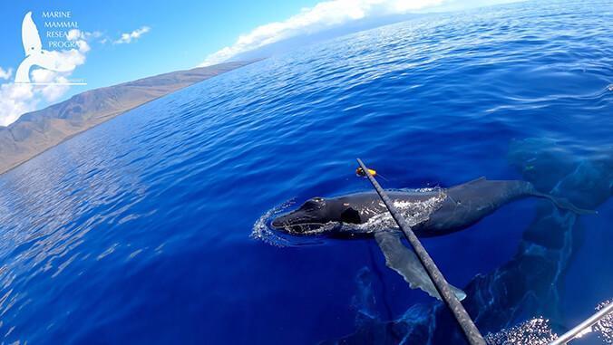 UH Researchers Tag a Humpback Whale Calf off of Maui (NOAA Permit #21476)