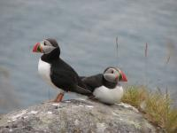 Puffins, Photographed on Runde Island