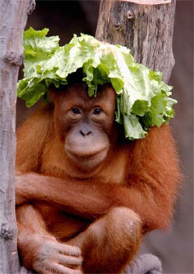 Young Female Orangutan