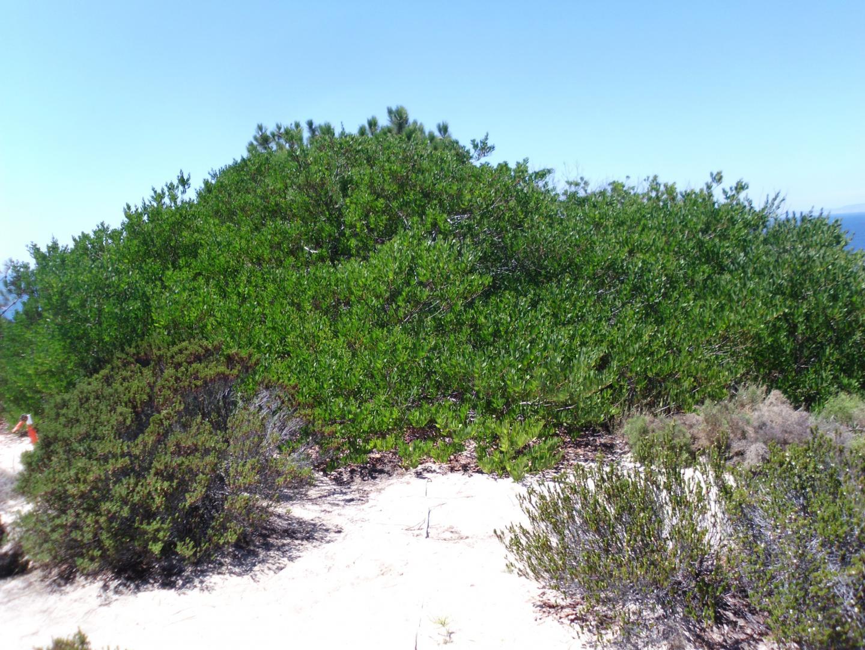 <i>Acacia longifolia</i>