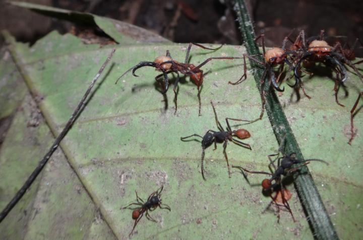 <i>Eciton burchellii</i> Ants