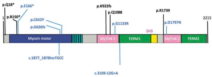 USH1 Protein of the MIO7A Gene and Identified Mutations