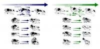 Changes in Skull Anatomy of Herbivorous Dinosaurs