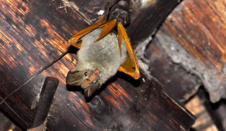 Slit-Faced Bat