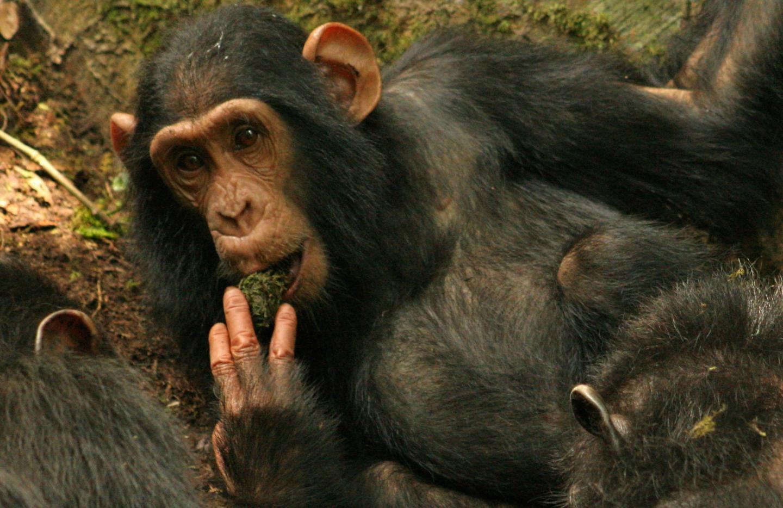 KB of the Sonso Chimpanzee Community