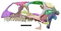 Scan of <i>Massospondylus</i> Skull