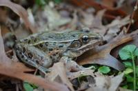 <i>Rana kauffeldi</i> Frog
