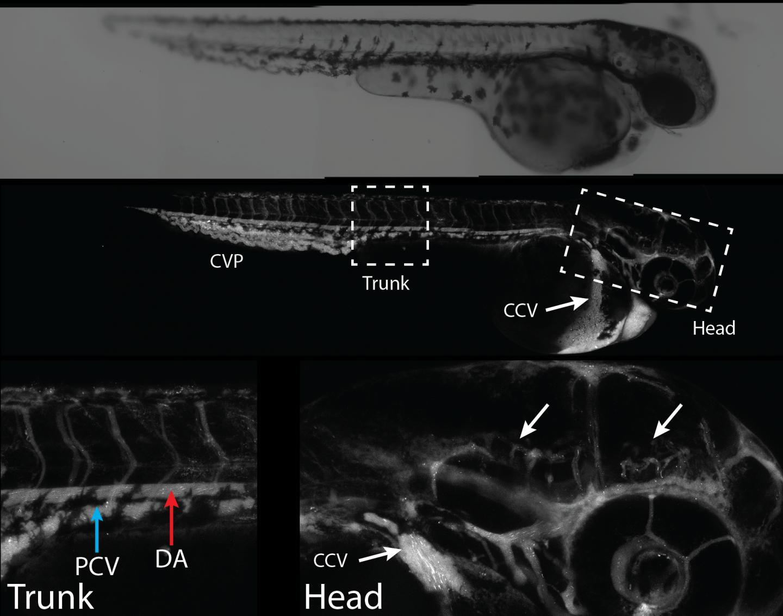 Nanoparticle Distribution in Zebrafish