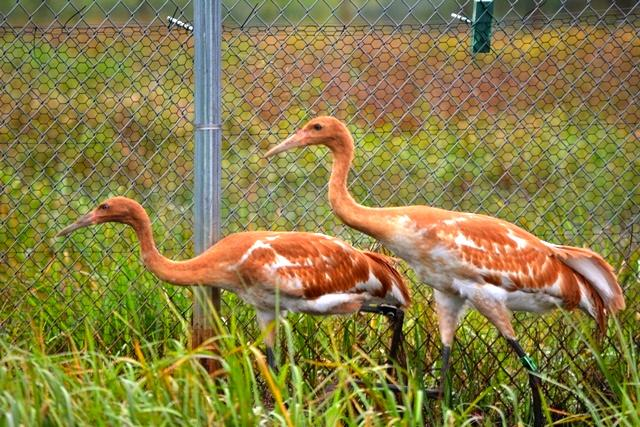 Two Parent-reared Whooping Cranes