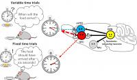 The serotonin effect on waiting time in different brain areas