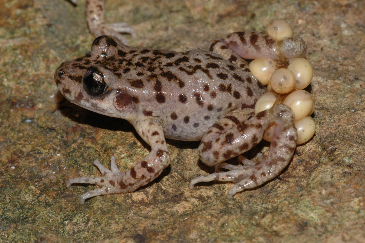 Mallorcan Midwife Toad (1 of 3)