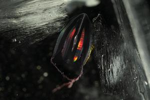 A Callianira cristata comb jelly