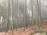 Monocrop Bamboo Forest in Sichuan Province, China