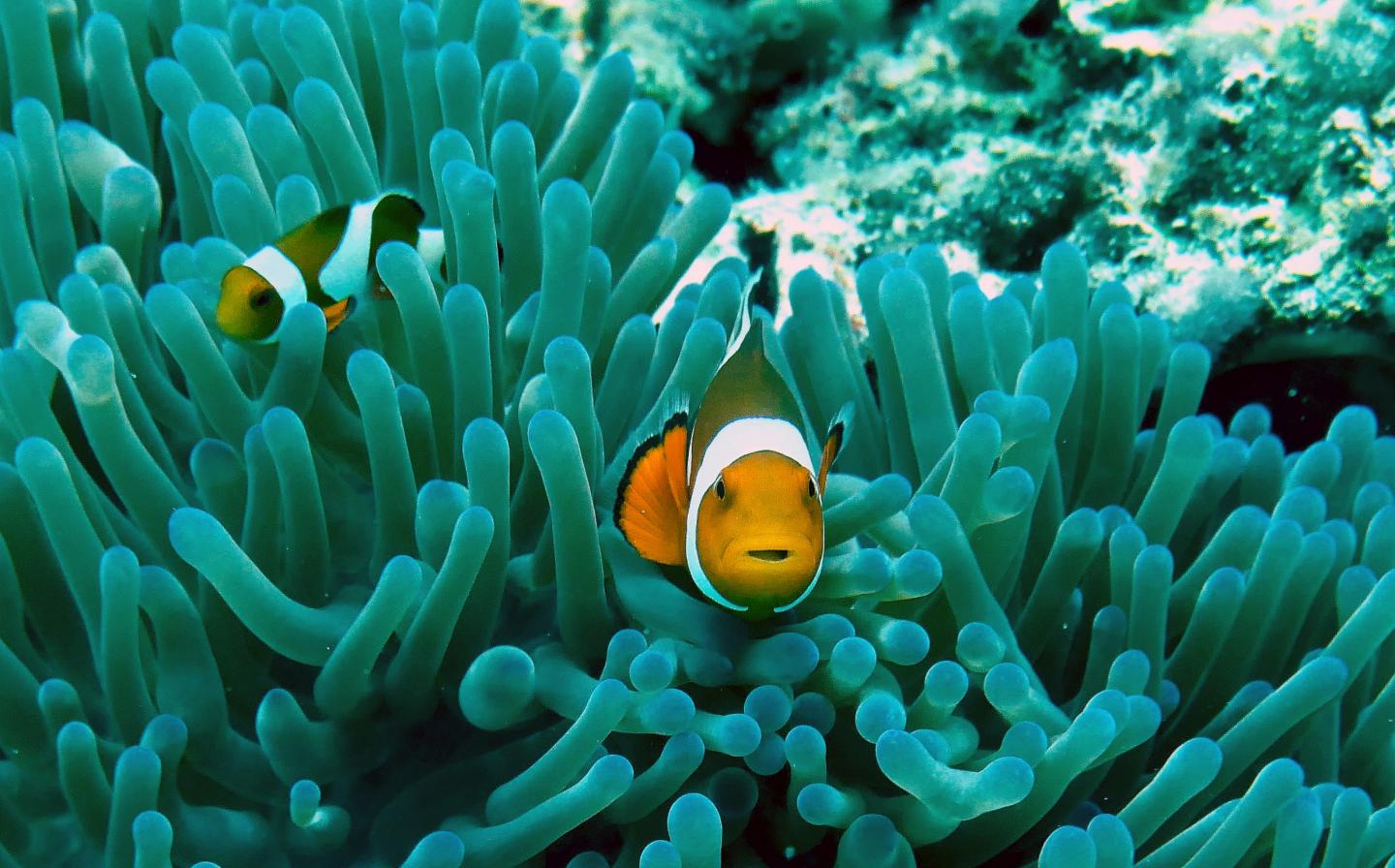 Clownfishes live in symbiosis with sea anemones