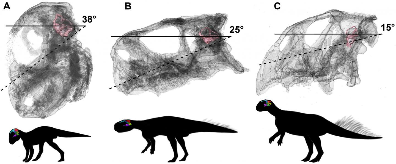 Head Posture of Psittacosaurus Lutjiatunensis