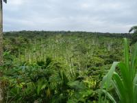 Green, lush landscape filled with cocoa trees