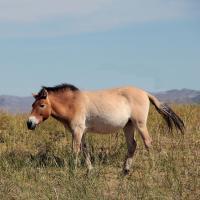Przewalksi Horse