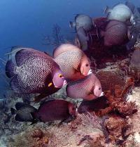 French and Gray Angelfishes Eating the Tube Sponge <I>Callyspongia vaginalis</I>