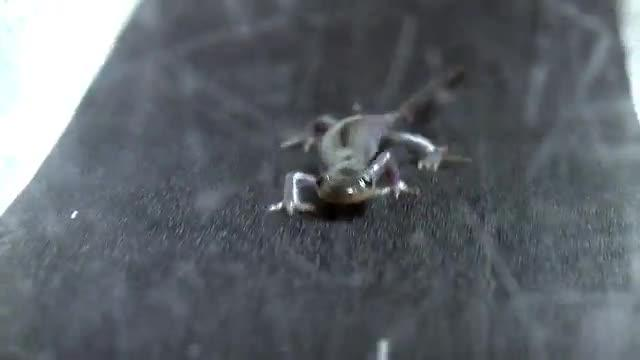Strolling Salamander