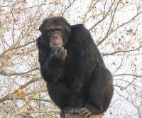 Chimpanzee Judumi