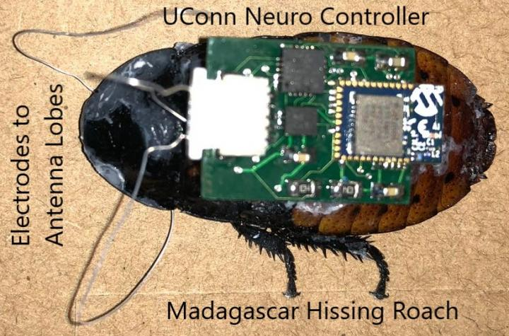 'Cyborg' Cockroach with Microcircuit Controller Attached