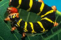Caterpillar Herbivory