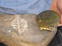 New Study Finds Highly Modified Abdominal Muscular Sling in Turtles