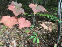 Mapley leaf