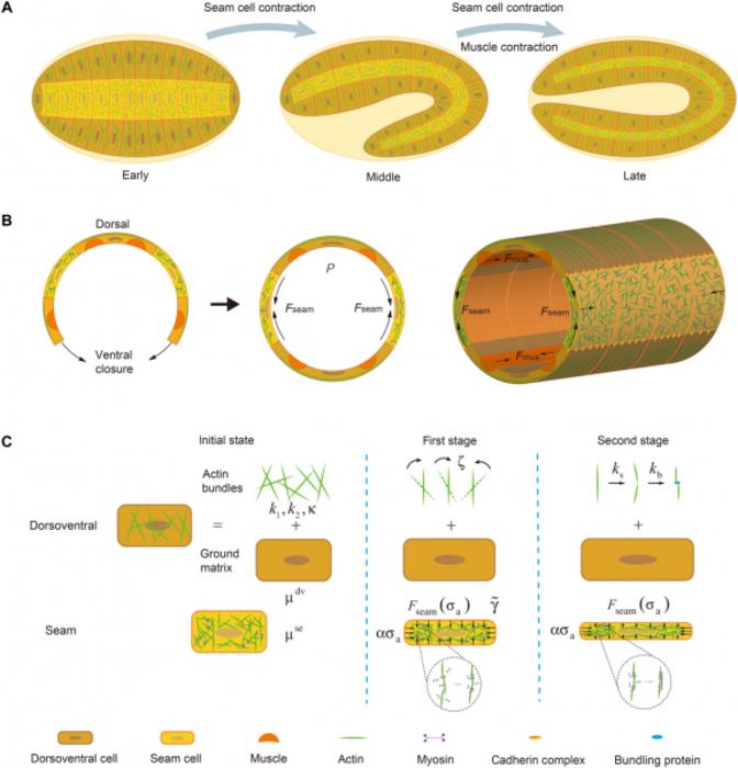 Diagram of embryo elongation