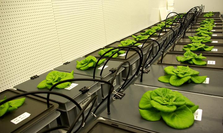 Lettuce on the Menu for Mars